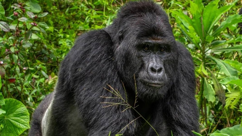 Mountain gorilla trekking countries in Africa