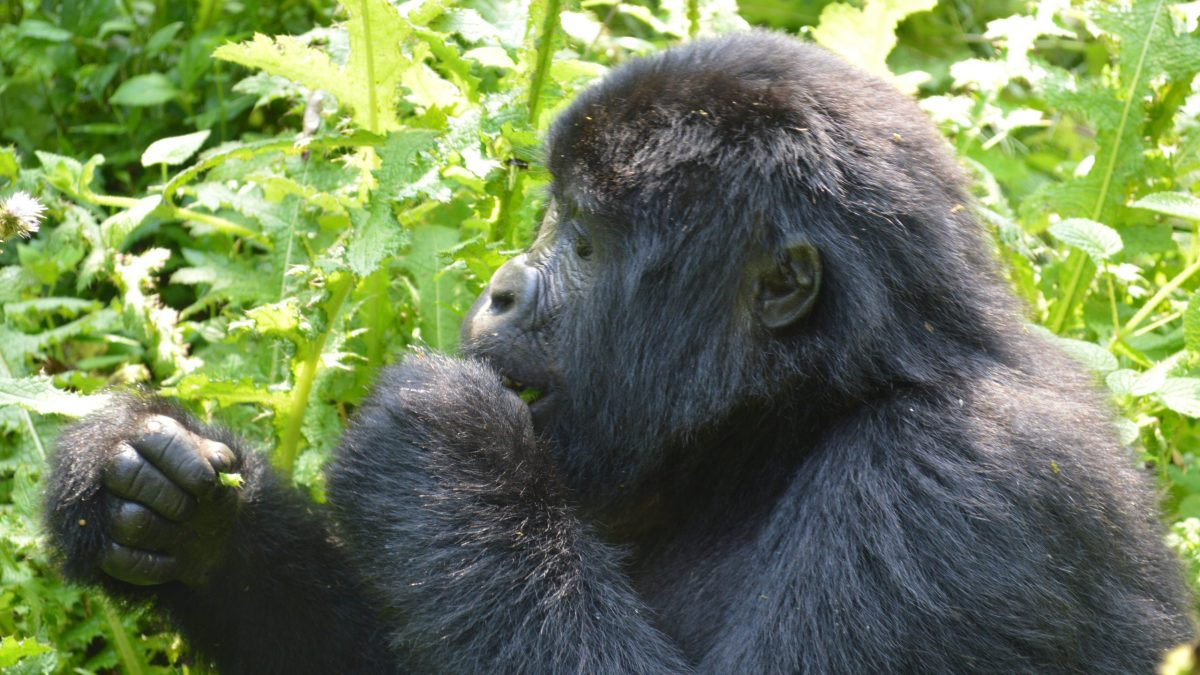 Gorilla trekking starting from Nkuringo Region of Bwindi
