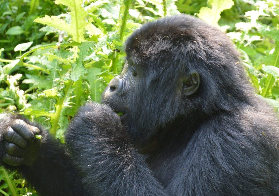 Is Bwindi impenetrable National Park safe for gorilla trekking