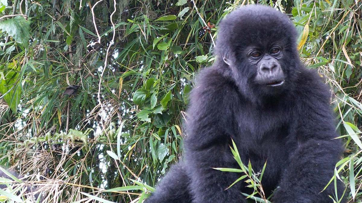 Gorilla trekking in Bwindi starting from Ruhija region