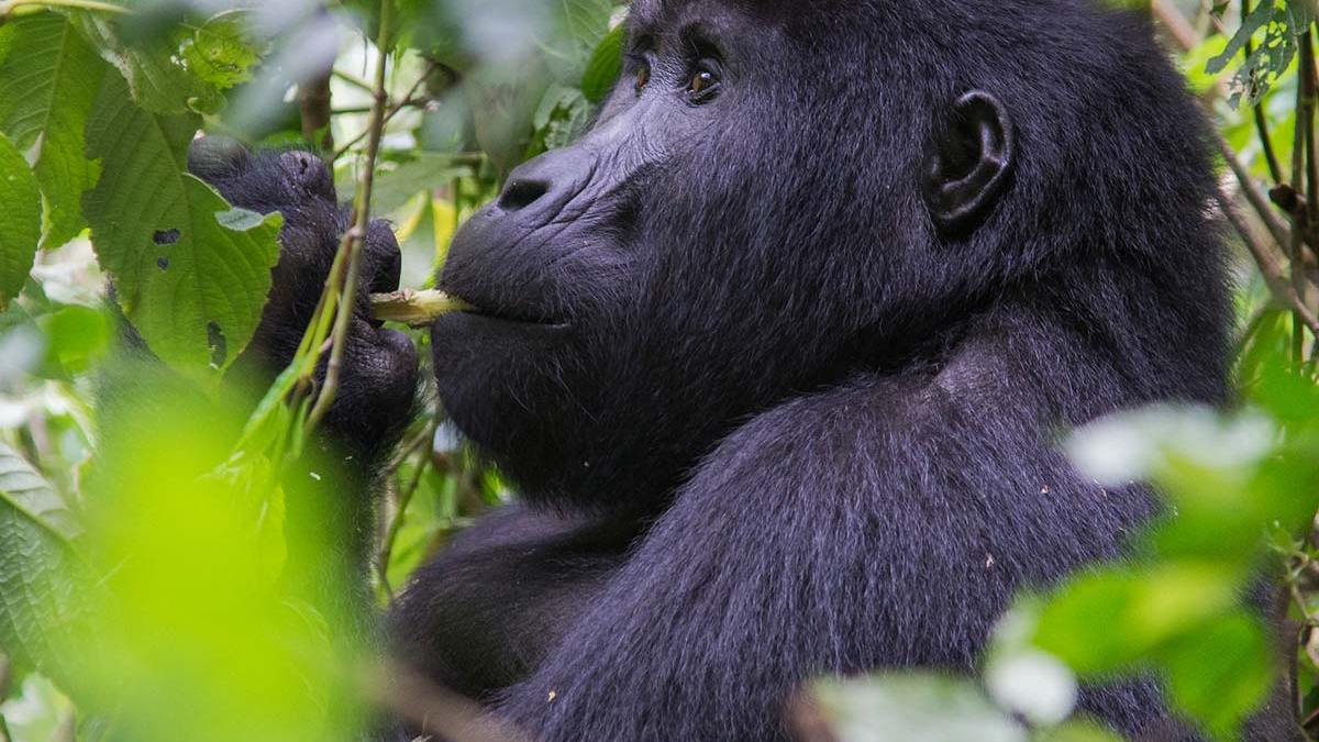 gorilla trekking trip starting from rushaga