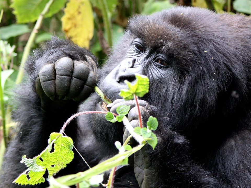 Organizing a luxury gorilla tour to Rushaga during high season