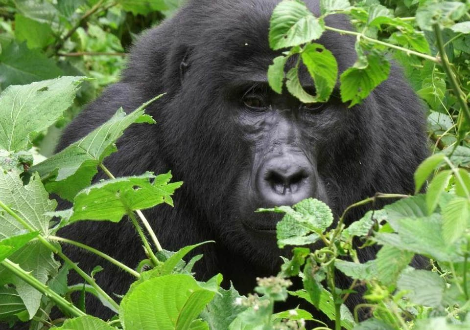 Compare gorilla trekking in Volcanoes National Park with Virunga National Park in Congo