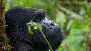 Organizing a luxury gorilla safari to Nkuringo during high season