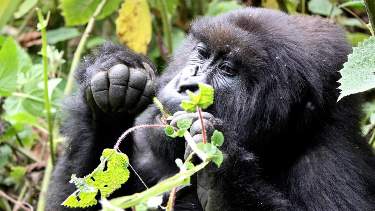 What is the approximate cost of a Budget Rwanda gorilla trip to Volcanoes National Park