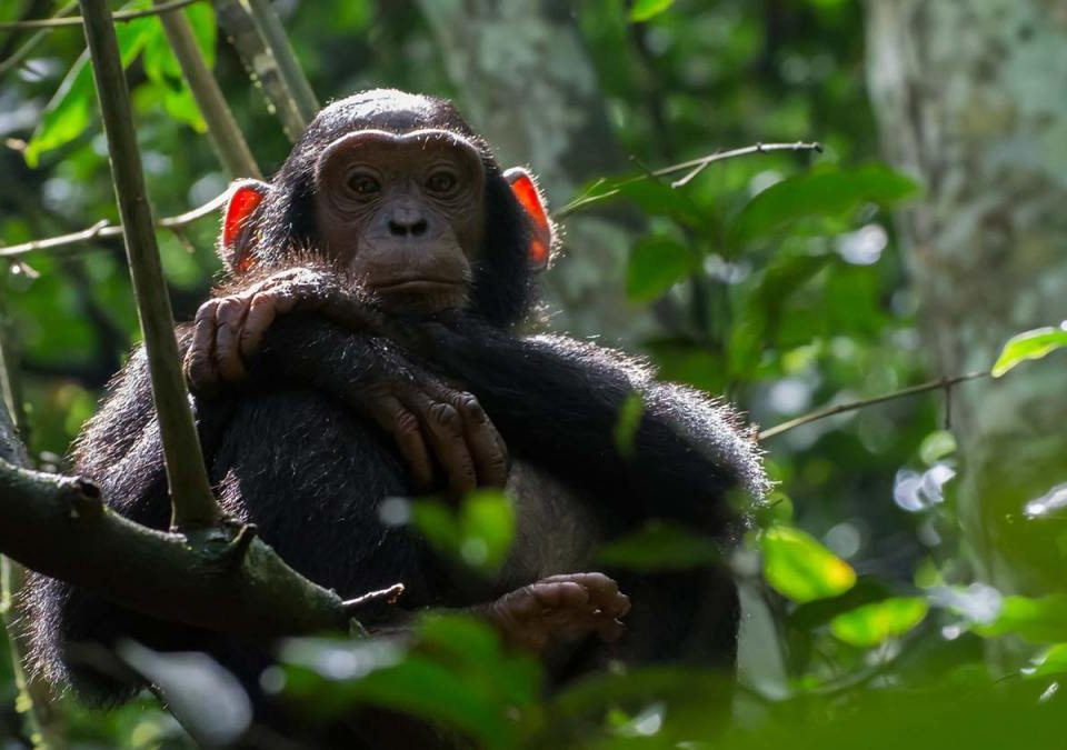 How to process chimpanzee permits credit note from UWA