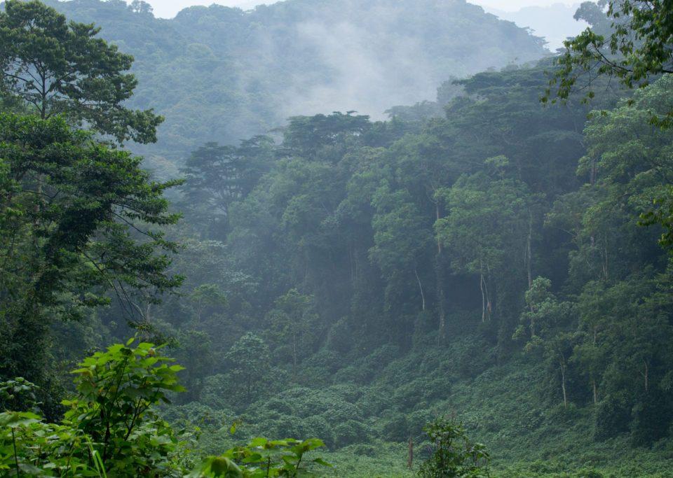Compare gorilla trekking in Volcanoes National Park Rwanda with Mgahinga in Uganda
