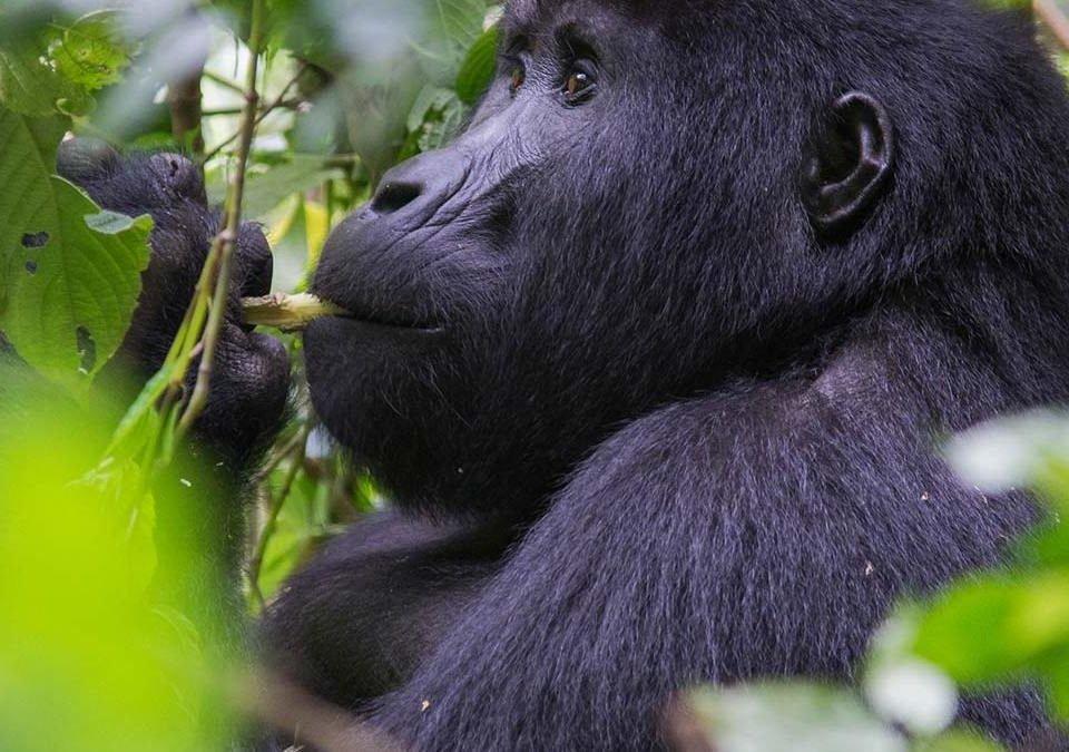 Four gorilla trekking points in Bwindi and gorilla families