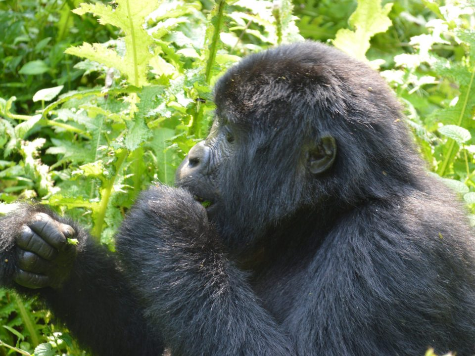 Planning a gorilla habituation experience holiday from canada