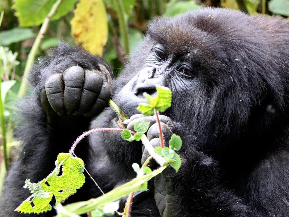 gorilla habituation experience tour from USA