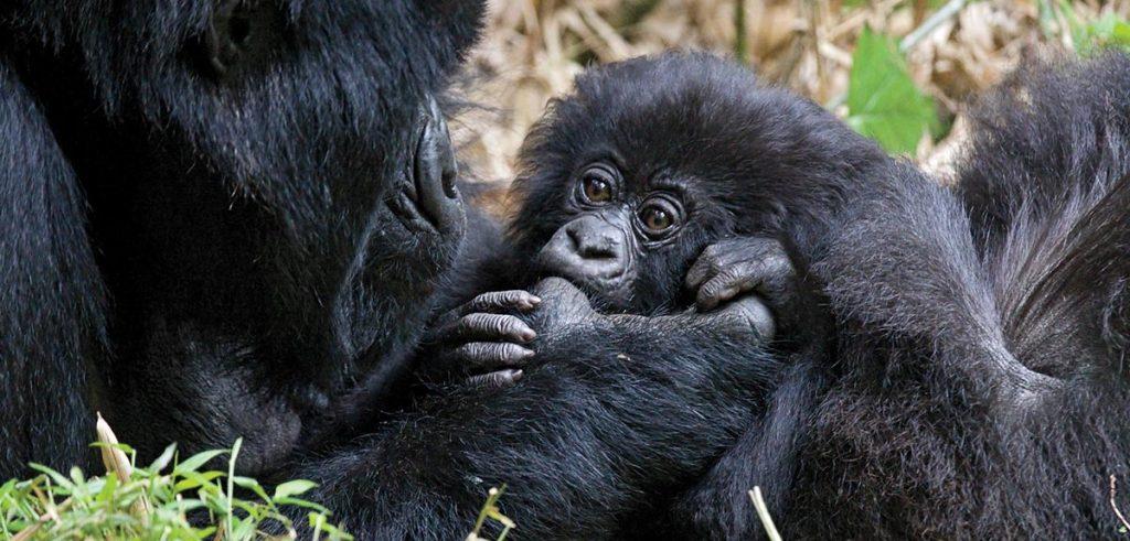 Gorilla Trekking in Rwanda During COVID-19