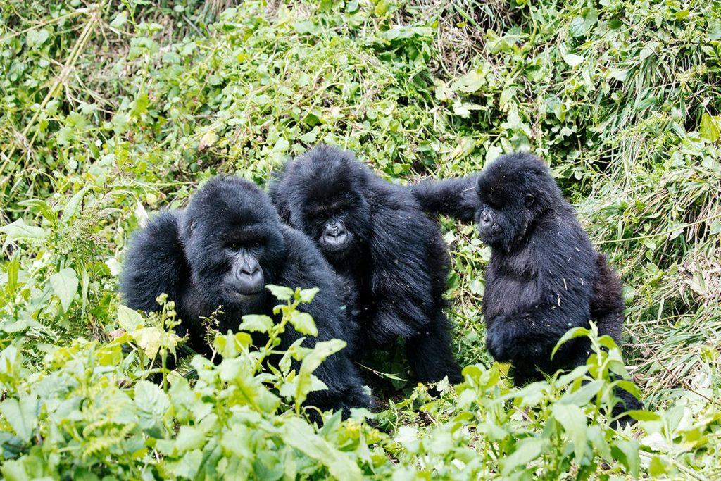 Booking a Uganda gorilla trekking safari during safari post Covid-19
