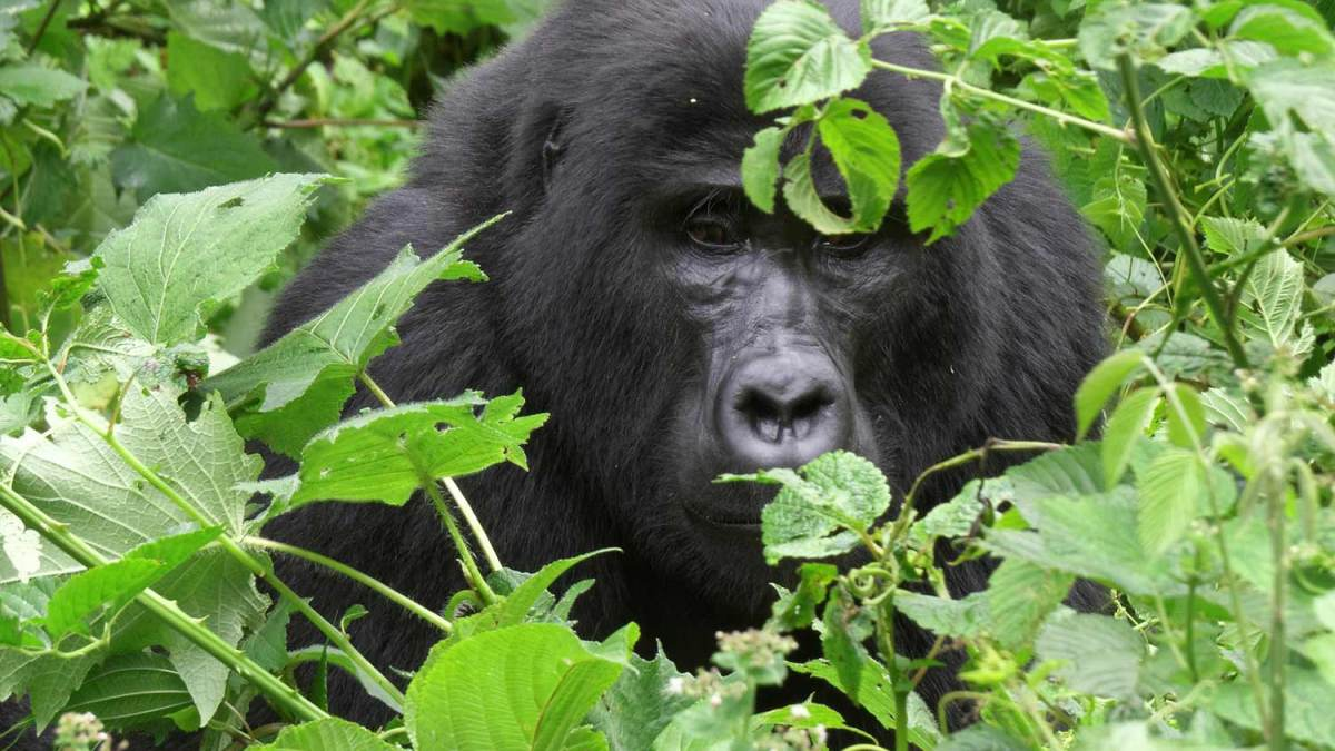 Is it possible to block all gorilla permits in Volcanoes NP for a whole day