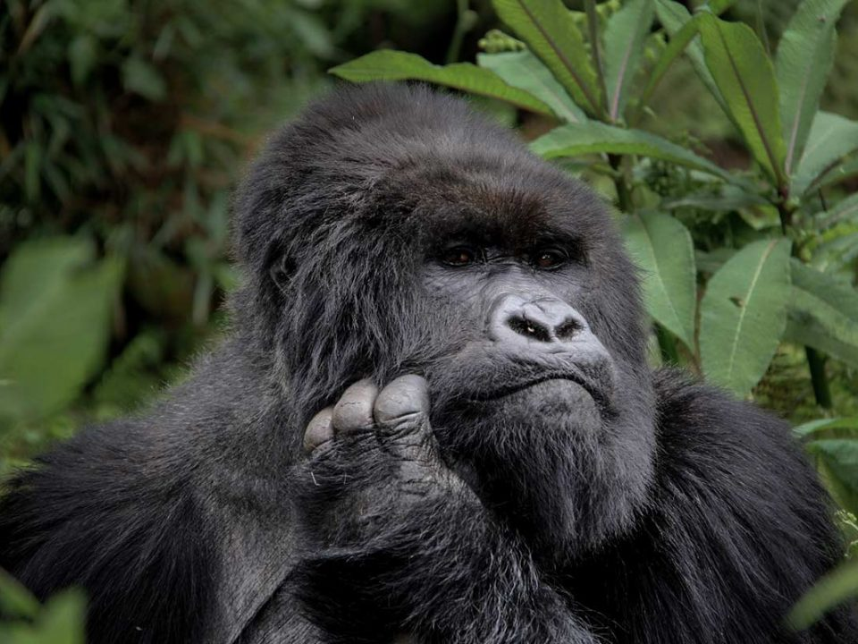 Where To See & Support Mountain Gorillas in Rwanda