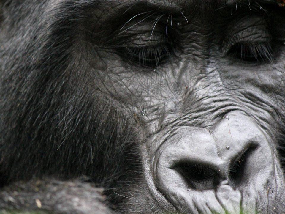 how many mountain gorillas are in Uganda