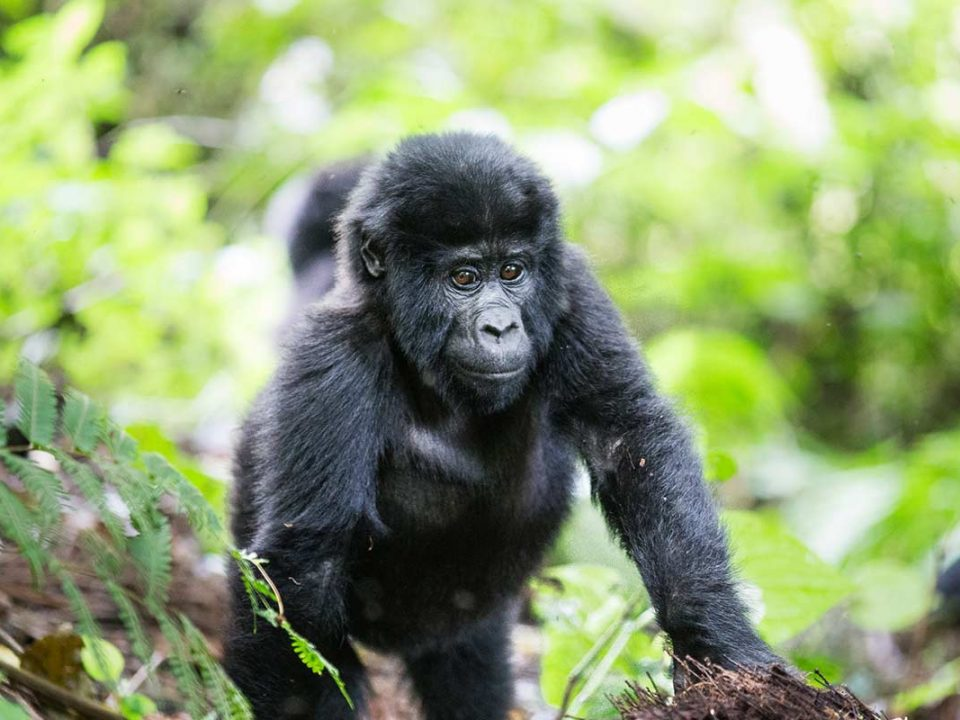 Where To See And Support Mountain Gorillas In Uganda