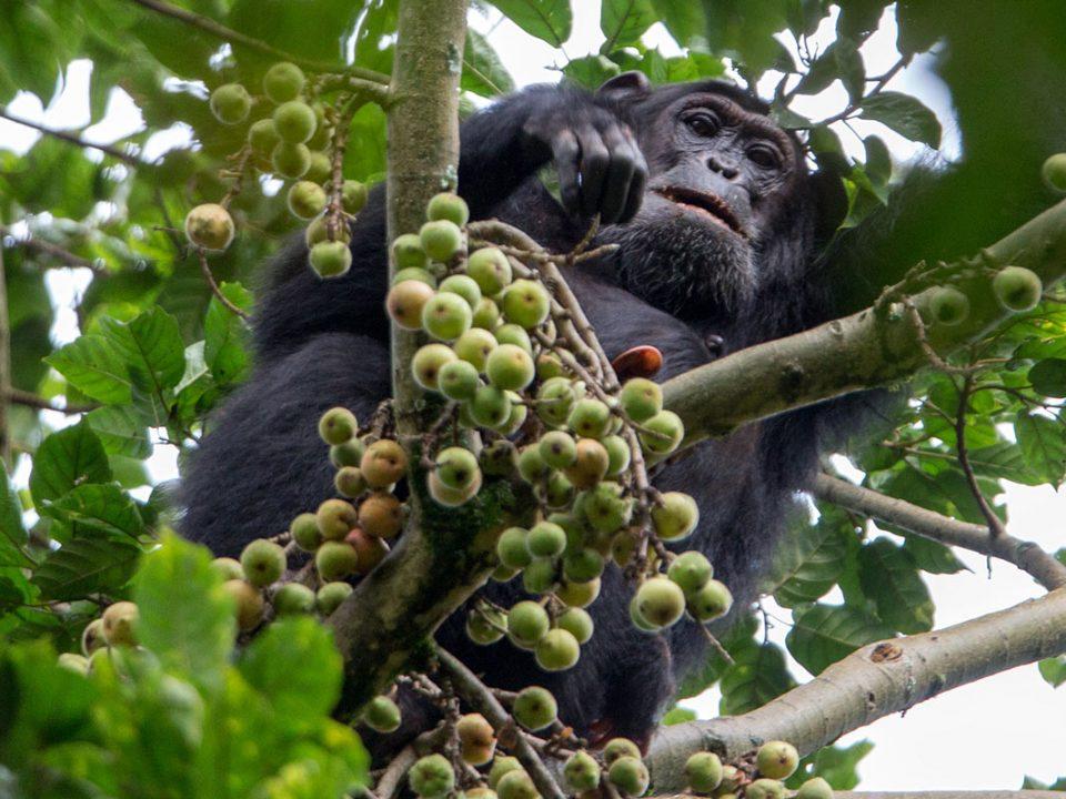 Is Chimpanzee Habituation Experience in Uganda Worth The Money?