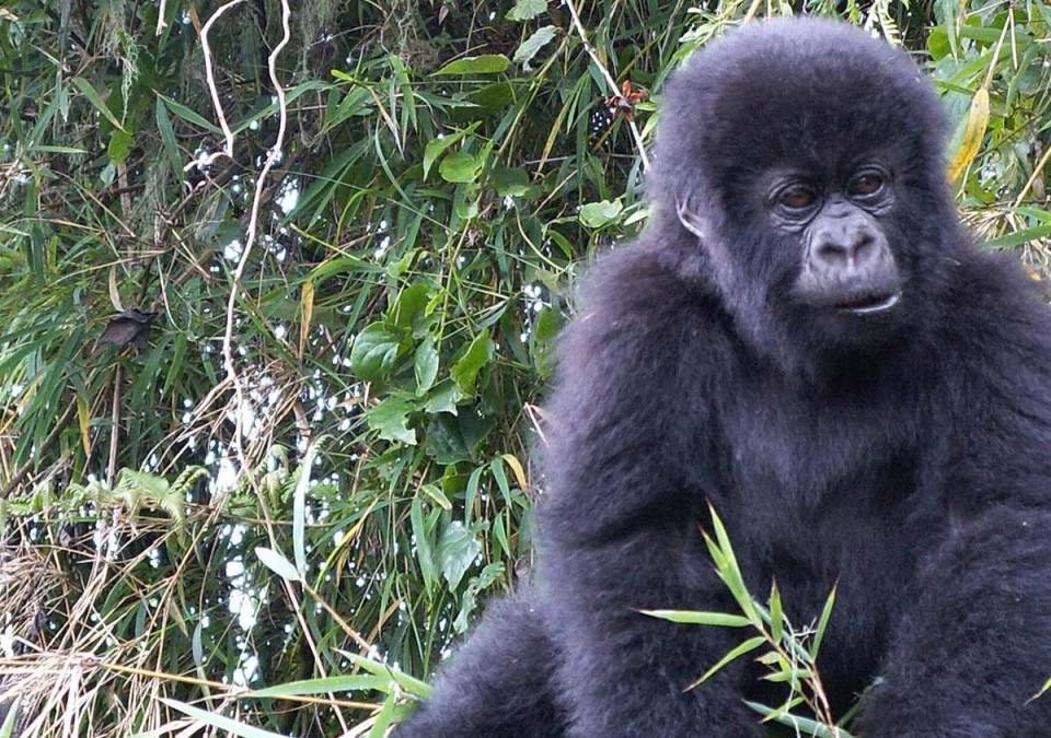 What is Uganda famous for as a Safari destination in Africa?