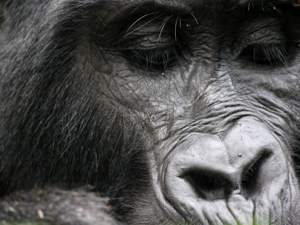 why mountain gorillas can charge